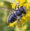 Unknown bee - Megachile mendica