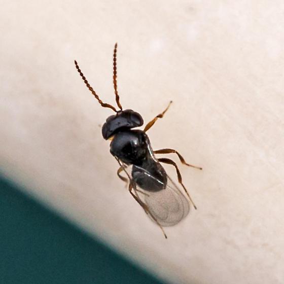 parasitic wasp - Telenomus - male