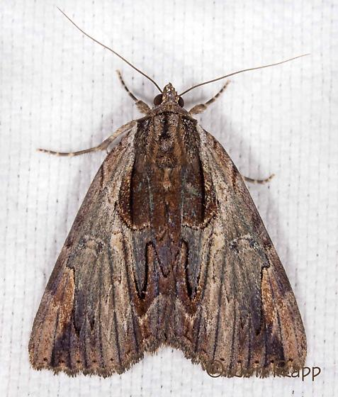 Ultronia Underwing - Catocala ultronia