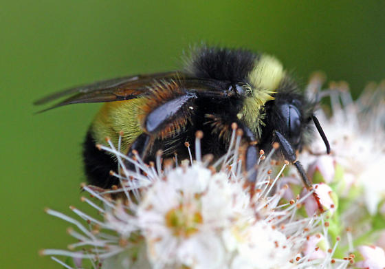 Male Yellow-banded? - Bombus terricola
