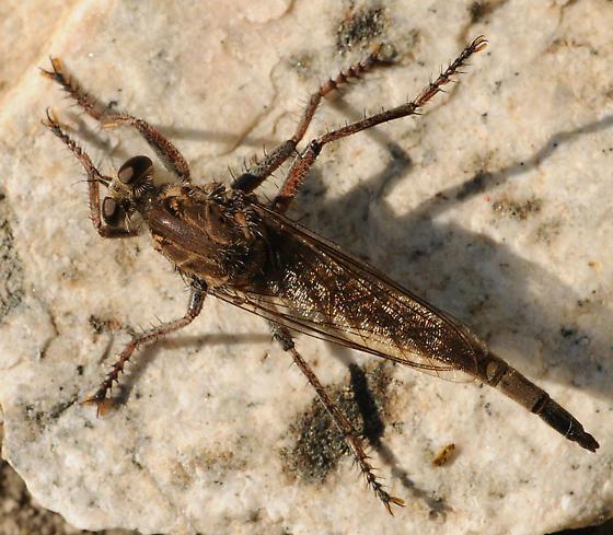 Proctacanthus occidentalis - female