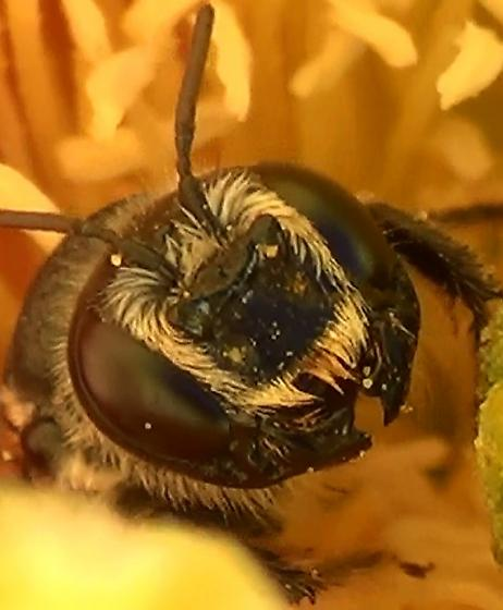 Mason Bee - CAT EARS - Lithurgopsis - female