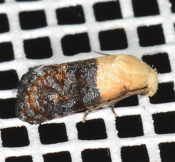 Eugnosta erigeronana - Fleabane Cochylid - Eugnosta erigeronana