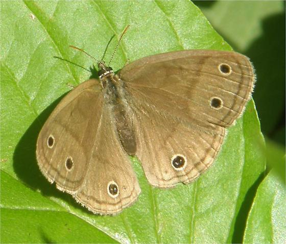 Little Wood Satyr - Megisto cymela - female