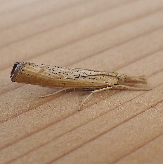 Crambidae: Pediasia dorsipunctellus - Pediasia dorsipunctellus