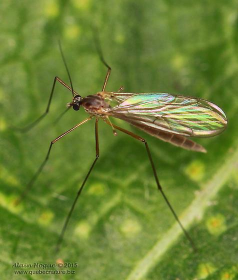 Tipulomorpha - Bolitophila