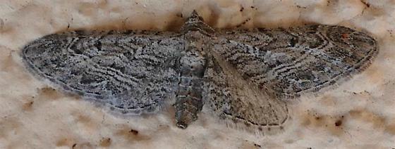 Eupithecia multistrigata