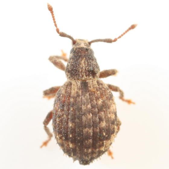 Broad-nosed weevil - Myosides seriehispidus