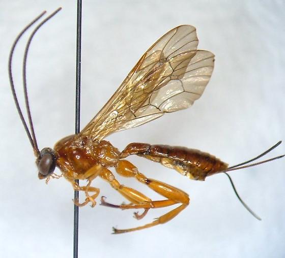 Ichneumonid 8 - Theronia hilaris - female