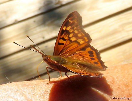 Tawny emperor butterfly - Asterocampa clyton