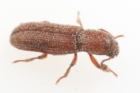 Beetle - Oxylaemus californicus