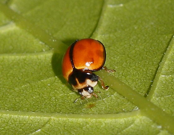 Black Stripe Ladybug - Coelophora inaequalis
