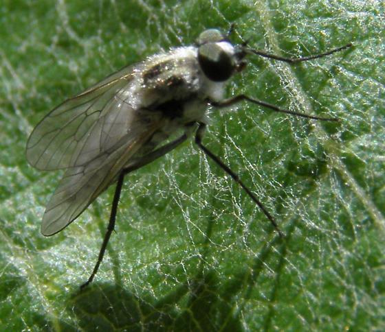 Fly - Brachylinga