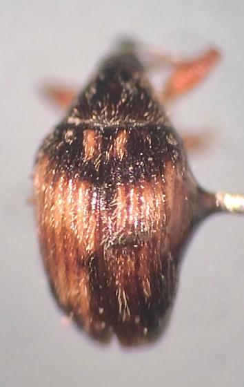 Nanophyes marmoratus