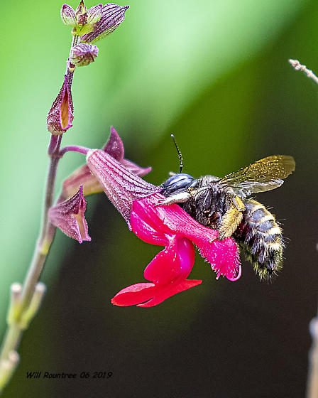 Carpenter bee  - Xylocopa tabaniformis - female