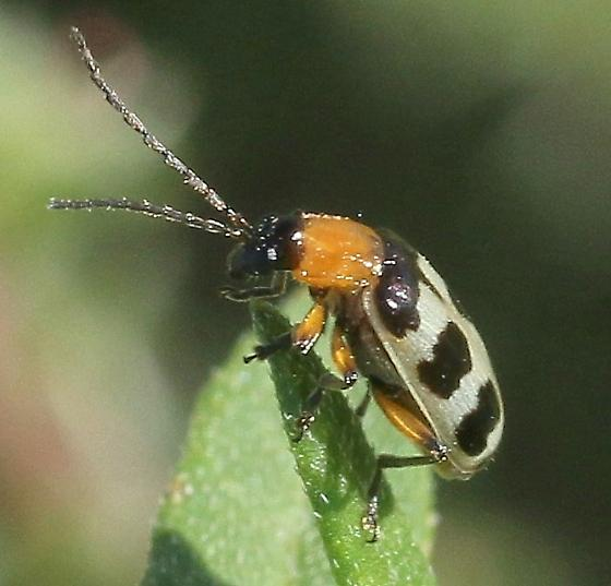 beetle, small, similar to spotted cucumber beetle - Paranapiacaba tricincta