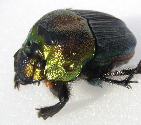 Rainbow Scarab - Phanaeus vindex