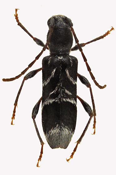 Longhorn beetle - Microclytus compressicollis