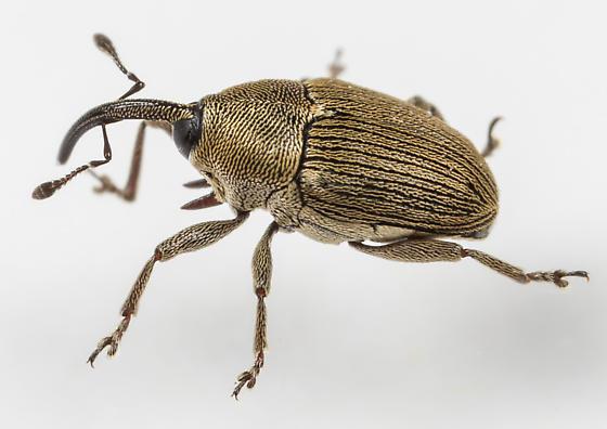 WeevilGeraeus picumnus - Geraeus picumnus
