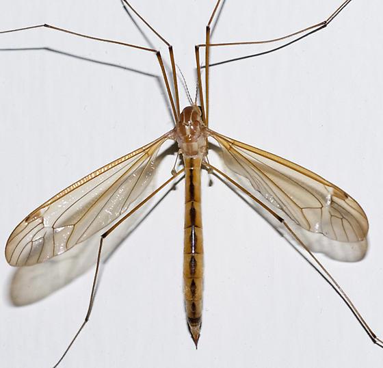 Tiger Crane Fly - Nephrotoma eucera - female