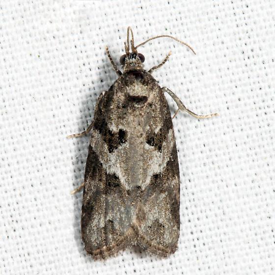 Gray Tortrix - Cnephasia stephensiana