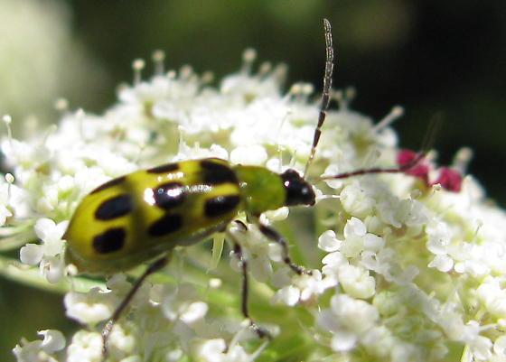 cucumber beetle ? - Diabrotica undecimpunctata