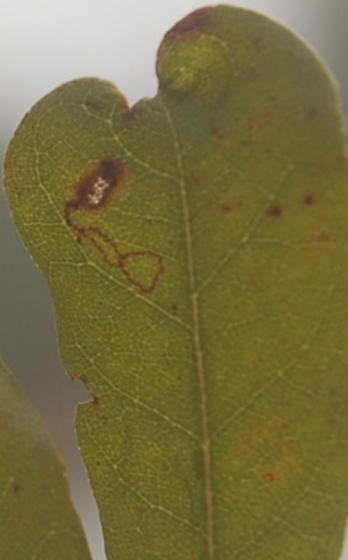 St. Andrews leaf miner on Myrica cerifera SA743 Stigmella maybe 2017 8 - Stigmella myricafoliella