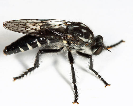 Robber Fly - Cyrtopogon lyratus
