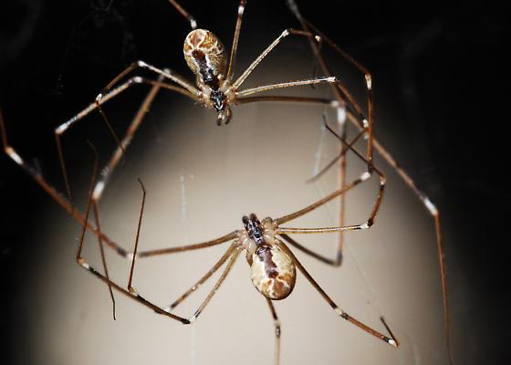 Attack of the Pseuton Spiders! Internecine War! - Holocnemus pluchei