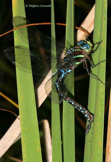 Black-Tipped Darner Ovipositing - Aeshna tuberculifera - female