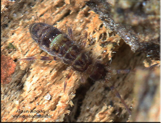 Springtails - Orchesella cincta - female