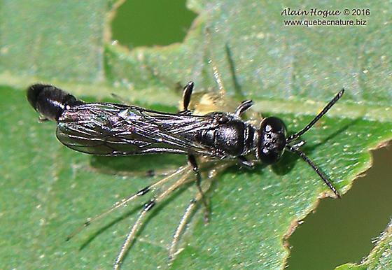 Ichneumonoidea - Trypoxylon