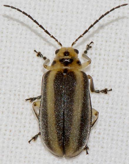 Derospidea brevicollis