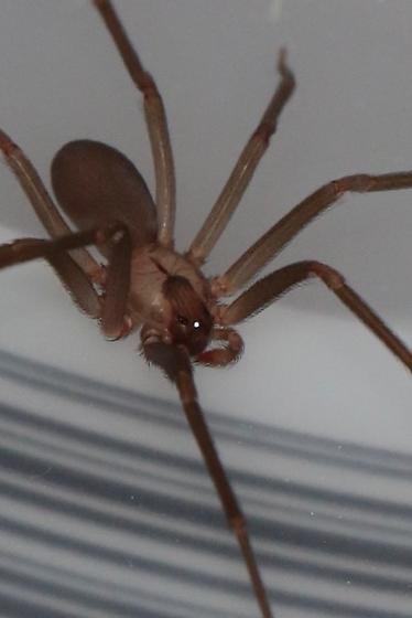 Brown Recluse, Loxoscele reclusa - Loxosceles
