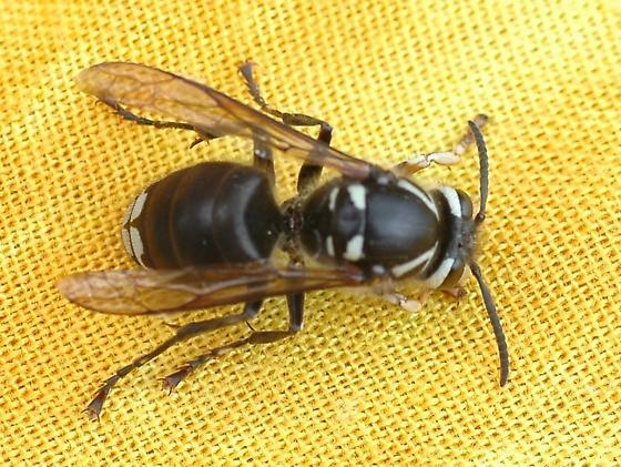 Bald-faced Hornet - Dolichovespula maculata