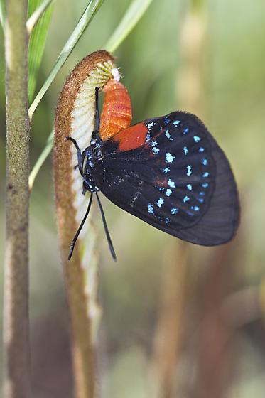 Atala Butterfly Laying Eggs - Eumaeus atala - female