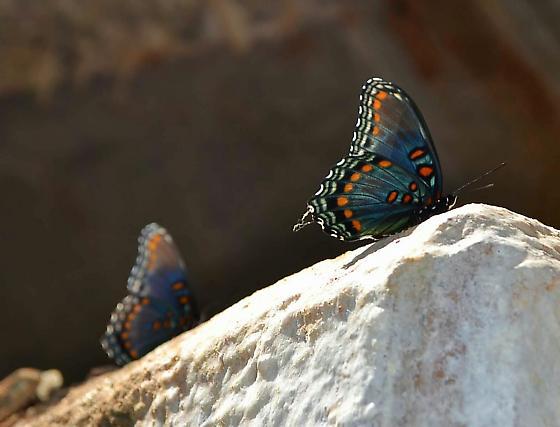 Black blue butterfly - Limenitis arthemis