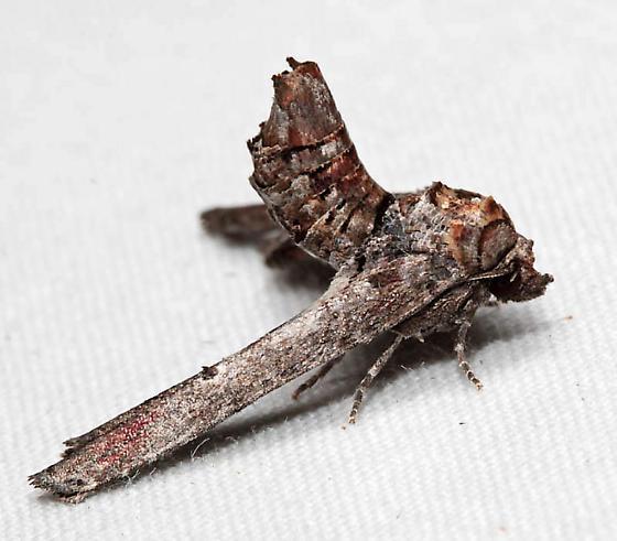 Marathyssa inficita