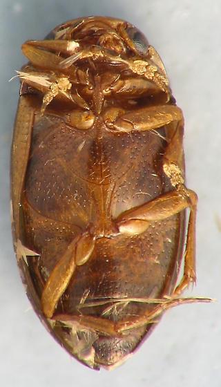 Hydroporus sp. - Hydroporus tristis