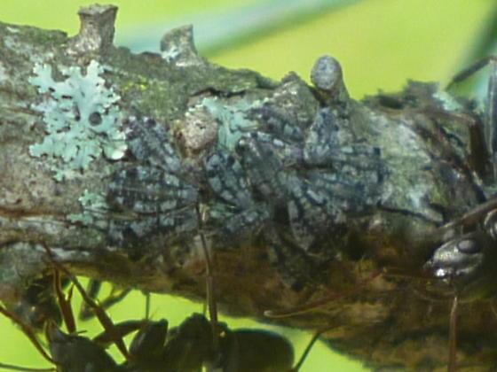 conifer aphids - Cinara