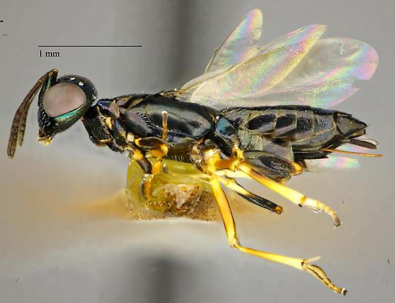 Hymenoptera - female