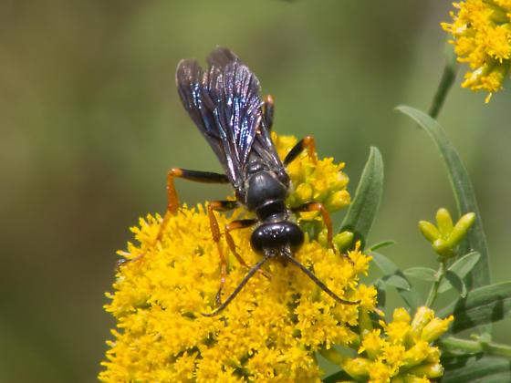 Orange-legged black wasp - Sphex nudus