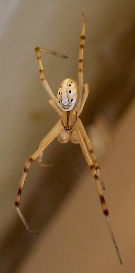 Spider A 8.25.17 - Latrodectus hesperus
