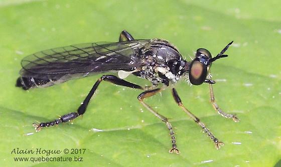 Dioctria hyalipennis ?