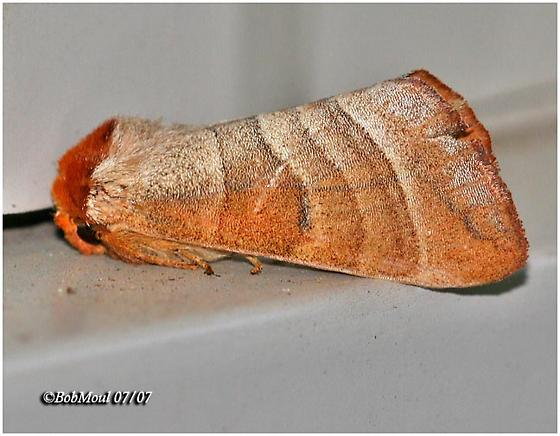 Walnut Caterpillar Moth - Datana integerrima