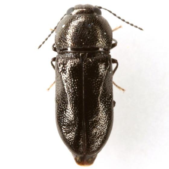 Mastogenius crenulatus Knull - Mastogenius crenulatus