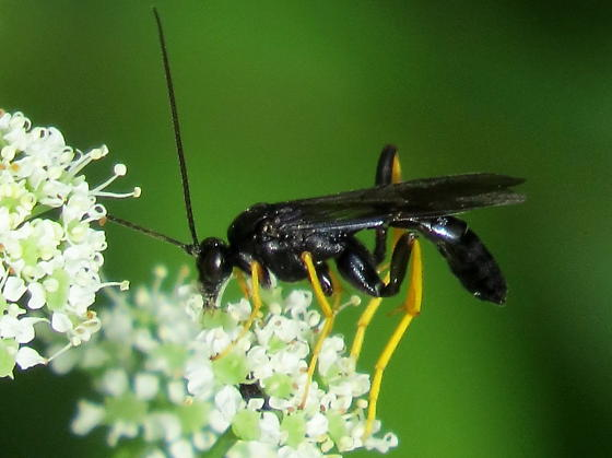 large black wasp with mostly yellow legs - Exetastes suaveolens - male