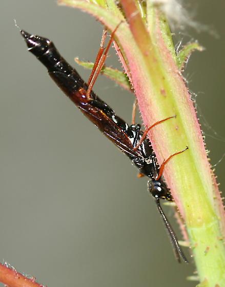 Stem Sawfly - Hartigia cowichana
