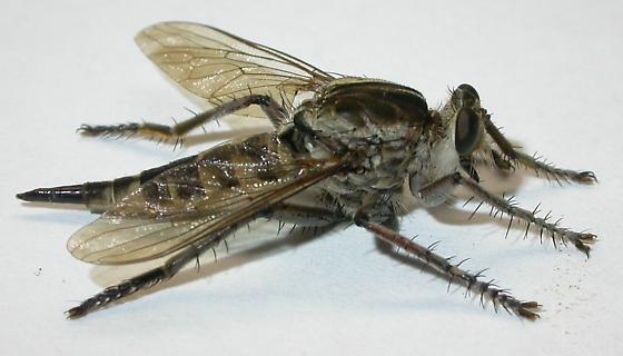 Robber fly - female