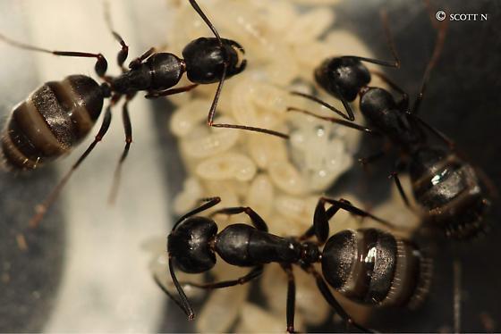 Workers - Camponotus pennsylvanicus - female